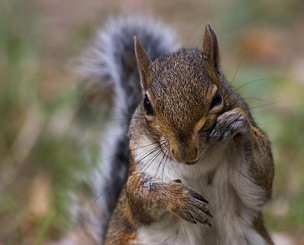 Lo scoiattolo asinus novus - Gli animali della foresta pluviale di daintree ...