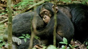 hi-chimpanzee-03-tiff-6col